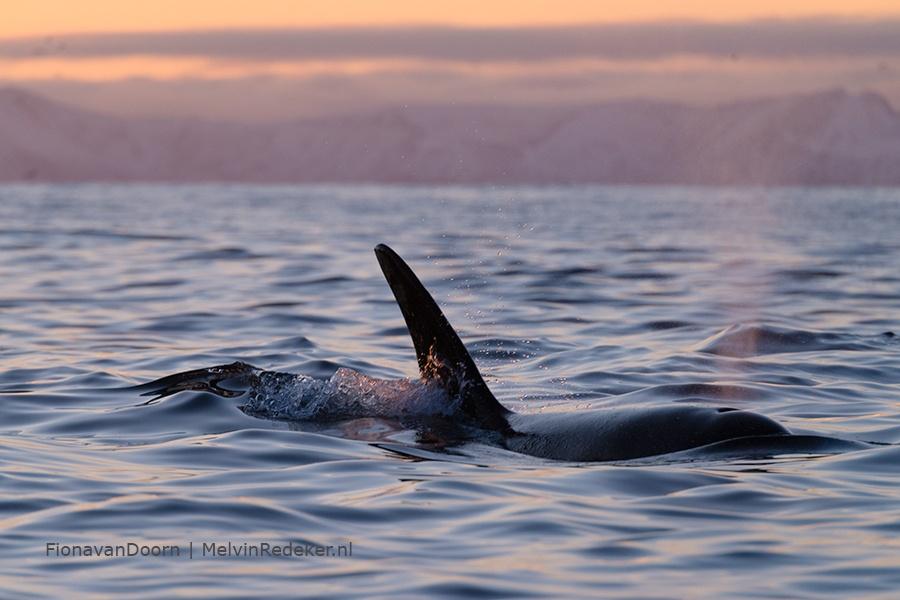 Spreker en avonturier orka in arctisch Noorwegen